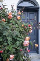 Rosa 'Ausbrother' Lady Emma Hamilton by front door