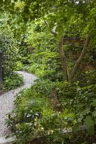 Gravel path through shady area, Acer palmatum