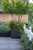 Roof terrace, Cornus mas underplanted with Libertia grandiflora in raised bed, Lavandula angustifolia 'Munstead', passiflora