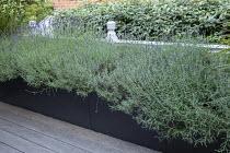 Lavandula angustifolia 'Munstead' in raised bed on balcony, Elaeagnus x ebbingei hedge