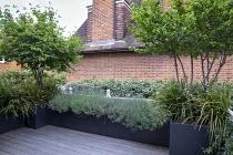 Roof terrace, Cornus mas underplanted with Libertia grandiflora in raised bed, Lavandula angustifolia 'Munstead'