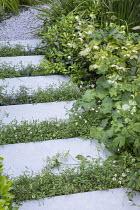 Stepping stones, Erigeron karvinskianus in limestone paving cracks, Alchemilla mollis, Helleborus × hybridus Harvington white, Pittosporum tobira 'Nanum'