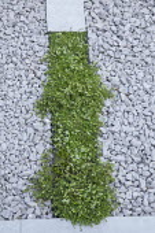Thymus serpyllum rill through gravel