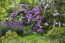 Salvia nemorosa 'Caradonna', rhododendron, Allium 'Mount Everest', Euphorbia × martini