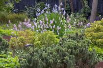 Persicaria bistorta 'Superba', Iris sibirica 'Perry's Blue', Pinus mugo, Euphorbia × martini