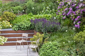 Chairs on decking, Cor-Ten steel edged gravel steps, Alchemilla mollis, Salvia nemorosa 'Caradonna', Euphorbia x martini, alliums, rhododendrons, Pinus mugo