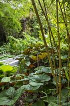 Ligularia, bamboo, Melanoselinum decipiens
