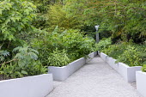 White raised beds in contemporary garden, Broussonetia papyrifera, Melianthus major, Zingiber mioga 'Crûg's Zing', Aralia cordata, fountain focal point, Lobelia tupa