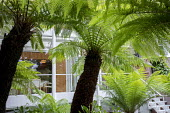 Dicksonia antarctica in urban garden, contemporary conservatory