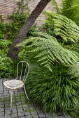 Cyathea cooperi in urban garden underplanted with Hakonechloa macra, Pittosporum tobira, Dicksonia antarctica, rustic metal chair on stone sett paving, Trachelospermum jasminoides climbing on fence