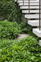 Pittosporum tobira 'Nanum' under white stone steps, Trachelospermum jasminoides