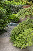 Cyathea cooperi in urban garden underplanted with Hakonechloa macra, Pittosporum tobira 'Nanum' in large pot, stone sett paving, Trachelospermum jasminoides climbing on fence