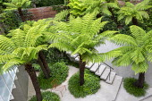 Dicksonia antarctica in urban garden, Pittosporum tobira 'Nanum', Hakonechloa macra, orange chair on white stone paving