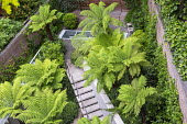 Dicksonia antarctica in urban garden, steps leading to upper terrace