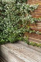 Built-in storage bench, Trachelospermum jaminoides climbing fence