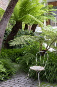 Cyathea cooperi in urban garden underplanted with Hakonechloa macra, Pittosporum tobira, Dicksonia antarctica, rustic metal chair on stone sett paving
