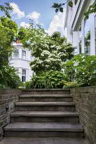 Steps by house, Cornus kousa, Hydrangea quercifolia