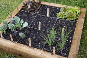One metre square raised bed, seedlings of Lettuce 'Dragon's Tongue' and 'Flashy Butter Oak', Kohl rabi 'Azur Star', Shallot 'Ambition'