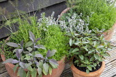 Purple sage, fennel, mint, rosemary and thyme in terracotta pots