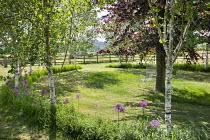 Drift of Allium hollandicum 'Purple Sensation' under row of birch trees, circular enclosure, chair under Purple beech