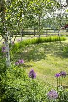 Drift of Allium hollandicum 'Purple Sensation' under row of birch trees, circular enclosure