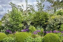 Allium hollandicum 'Purple Sensation', clipped Buxus sempervirens balls, Alchemilla mollis, elaeagnus, sambucus, ferns, viburnum, Taxus baccata