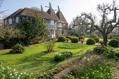 View across lawn to oast houses, Malus domestica 'Gascoyne's Scarlet', large clipped Buxus sempervirens interspersed with pots of Abelia 'Sunshine Daydream' and Abelia 'Confetti', daffodils, F...