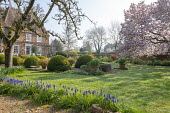 Muscari armeniacum, view to oast houses, Malus domestica 'Gascoyne's Scarlet', large clipped Buxus sempervirens interspersed with pots of Abelia 'Sunshine Daydream' and Abelia 'Confetti', Magn...