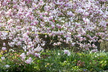 Magnolia × soulangeana underplanted with Helleborus purpurascens and daffodils