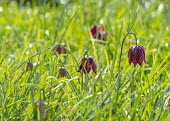 Fritillaria meleagris naturalised in long grass meadow