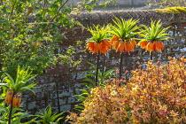 Fritillaria imperialis, Spiraea japonica 'Goldflame'