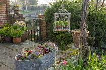 Lathyrus vernus in pots by gate, saxifrage in hanging metal birdcage