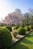Large clipped Buxus sempervirens mounds interspersed with pots of Abelia 'Sunshine Daydream' and Abelia 'Confetti', Magnolia × soulangeana