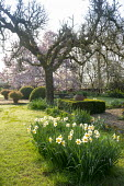 Daffodils in lawn, swing hanging from Malus domestica 'Gascoyne's Scarlet', large clipped Buxus sempervirens interspersed with pots of Abelia 'Sunshine Daydream' and Abelia 'Confetti', Magnoli...