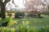 Daffodils, swing hanging from Malus domestica 'Gascoyne's Scarlet', large clipped Buxus sempervirens interspersed with pots of Abelia 'Sunshine Daydream' and Abelia 'Confetti', Magnolia × sou...
