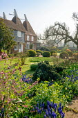 Muscari armeniacum, Daphne mezereum, view to oast houses, Malus domestica 'Gascoyne's Scarlet', large clipped mounds of Buxus sempervirens