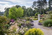 Pathway through rose garden, Alchemilla mollis, nepeta