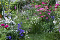 Cottage garden, Rosa 'Guirlande d'Amour' (Lens), Rosa 'Bukavu', Rosa glauca, foxgloves, campanula, Marguerites, kitchen utensils