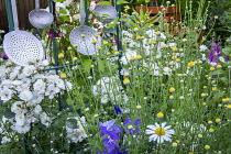 Argyranthemum frutescens, Rosa 'Guirlande d'Amour' (Lens) and old kitchen utensils