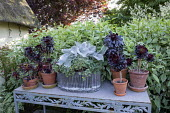 Senecio 'Angel Wings', Aeonium 'Zwartkop' in pots on table
