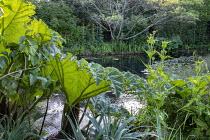 Gunnera manicata by natural pond, Dipsacus fullonum