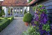 Clipped box parterre in gravel courtyard, box spirals in pots by house, table and chairs, Clematis 'Etoile Violette' climbing on shed wall underplanted with Parahebe perfoliata