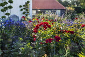 Rosa 'Frensham' and Phlox paniculata 'Blue Paradise' in cottage garden border, cloud-pruned box topiary, bench