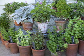 Collection of mints in terracotta pots, Strawberry mint, Moroccan mint, Pineapple mint, Chocolate mint, Curly mint, Apple mint, Senecio 'Angel Wings', pelargonium, aeoniums displayed on plant stand
