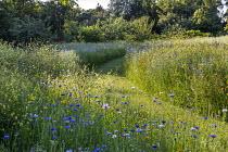 Mown grass path through colourful wildflower meadow, Centaurea cyanus, Chrysanthemum segetum
