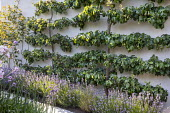 Espaliered pear trees trained against wall, lavender