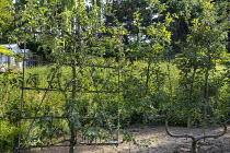 Trained espalier fruit tree screen