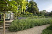 Gravel path through wildflower meadow, steps, lavender, umbrella trained mulberry tree