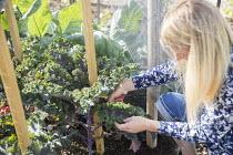 Woman harvesting kale