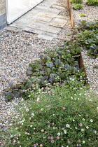 Cor-Ten steel step in gravel garden, Erigeron karvinskianus, Ajuga reptans 'Catlin's Giant'